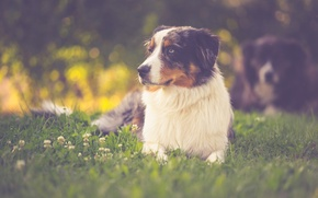 Wallpaper Sony, puppy, dog, cute, shepherd, Australian Shepherd, pup, canine, hund