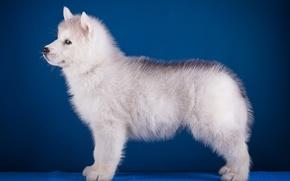 Wallpaper puppy, profile, husky, breed