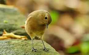 Picture bird, stone, bird-nevelichka