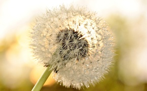 Picture flower, drops, macro, Rosa, background, dandelion, widescreen, Wallpaper, wallpaper, flower, widescreen, background, macro, drops, full ...