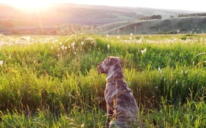 Picture sunset, nature, Dog