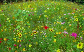 Picture greens, field, summer, sunflowers, flowers, red, yellow, Mac, meadow, herbs, kosmeya