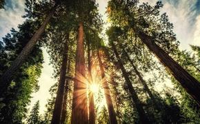 Picture forest, trees, sunset, forest, trees, sunlight, sunlight, Priroda