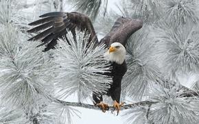Picture winter, bird, branch, hawk, bald eagle