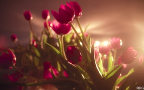 Wallpaper flowers, wedding, holiday, offer, March 8, field, girls, a lot, bouquet, smile, tulips, pink, beautiful, ...
