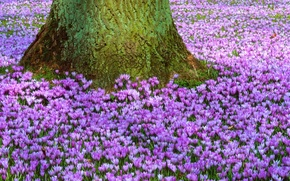 Picture flowers, nature, tree, glade, spring, trunk, purple, primrose, Crocuses