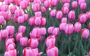 Wallpaper petals, meadow, nature, Tulip, garden, leaves