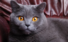 Picture cat, eyes, cat, face, grey, yellow, color, cat, British, British, Shorthair