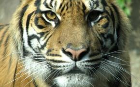 Wallpaper Cat, tiger, face