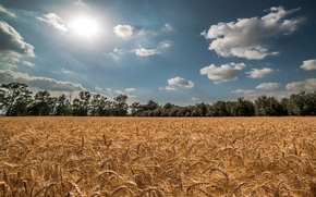 Picture wheat, field, summer, the sky, the sun, spikelets