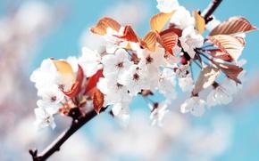 Wallpaper cherry, white, spring