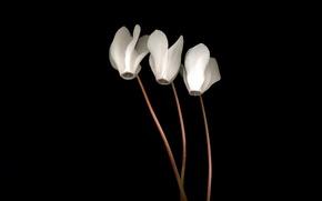 Picture light, Wallpaper, shadow, petals, stem, three