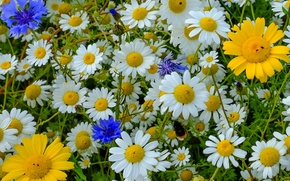 Wallpaper chamomile, meadow, bumblebee, cornflowers