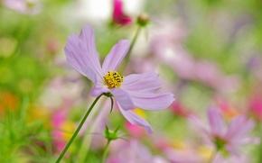 Picture flower, background, pink, blur, kosmeya