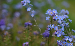 Wallpaper macro, flowers, blur, field, forget-me-nots