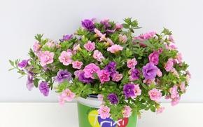 Picture photo, Flowers, A lot, Calibrachoа, Calibrachoa