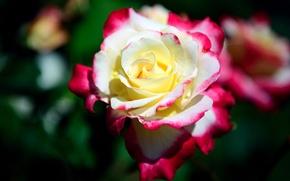 Picture blur, motley, rosebud