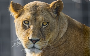 Picture cat, look, face, lioness, ©Tambako The Jaguar