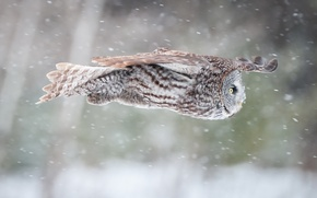 Picture nature, owl, bird