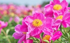 Picture macro, petals, peonies