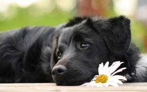 Picture flower, Daisy, dog, puppy, lies, sad, cherish