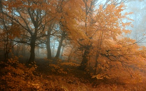 Picture autumn, forest, leaves, trees, fog, Nature, forest, grove, trees, nature, autumn, leaves, fog