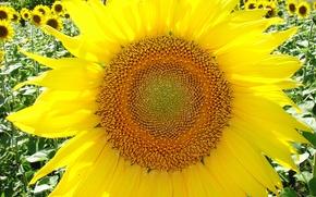 Picture flower, macro, yellow, Sunflower