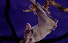 Picture purple, night, animal, sweetheart, branch, bat, hanging, head down, Wallpaper from lolita777