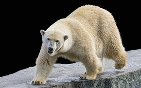 Picture stone, polar bear, polar, ©Tambako The Jaguar
