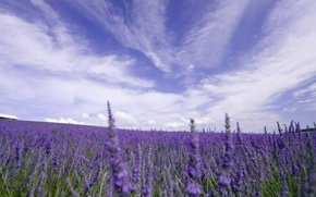 Picture flowers, field, nature, the sky, lavender, clouds