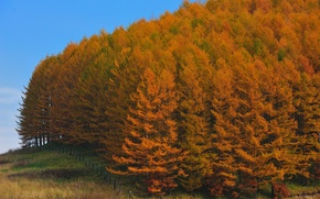 Picture forest, trees, Japan, Autumn