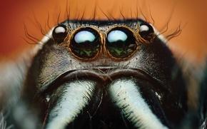 Picture spider, eyes, macro, animal, Bagheera, spider Central America, Bagheera Kiplingi