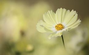 Picture flower, yellow, kosmeya