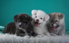 Picture puppies, languages, trio, funny, Japanese Akita