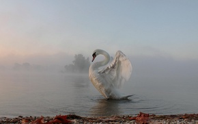 Picture fog, morning, Swan