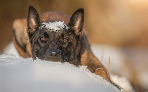 Picture snow, dog, shepherd