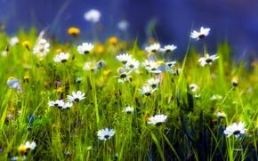Wallpaper greens, grass, green, glade, plants, Daisy