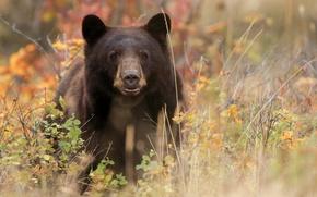 Picture the Bruins, Baribal, black bear, bear