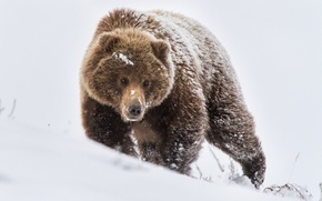 Picture winter, snow, nature, bear