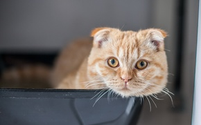 Picture cat, Scottish fold, Scottish fold