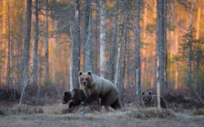 Picture forest, bears, wildlife