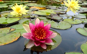 Picture leaves, nature, Lily, petals, pond