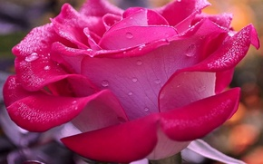 Picture petals, water, drops, Rosa, flower, rose