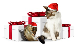 Picture cat, Chipmunk, animal, Christmas, hat, box, gift, gift, cat, holiday, New year