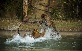 Picture squirt, the game, predators, bathing, fight, pair, wild cats, tigers