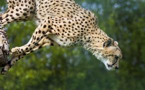 Picture cat, jump, Cheetah, ©Tambako The Jaguar