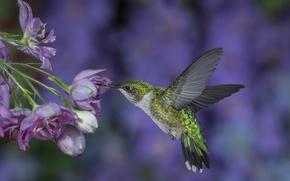 Picture flight, flowers, background, lilac, wings, Hummingbird, bird, stroke