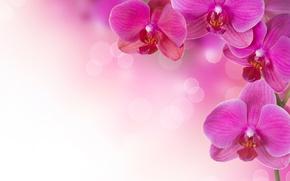 Wallpaper flowers, plants, pink, orchids