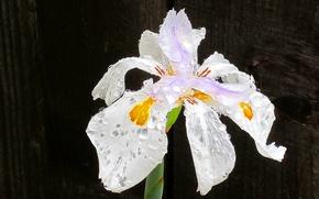 Picture flower, drops, macro, Rosa, petals, stem, iris