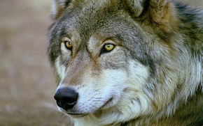 Picture eyes, look, face, Wolf